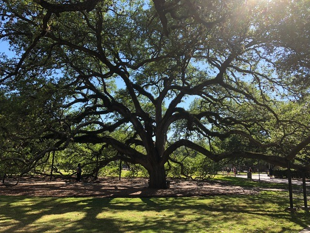 century-tree-at-texas-a-and-m